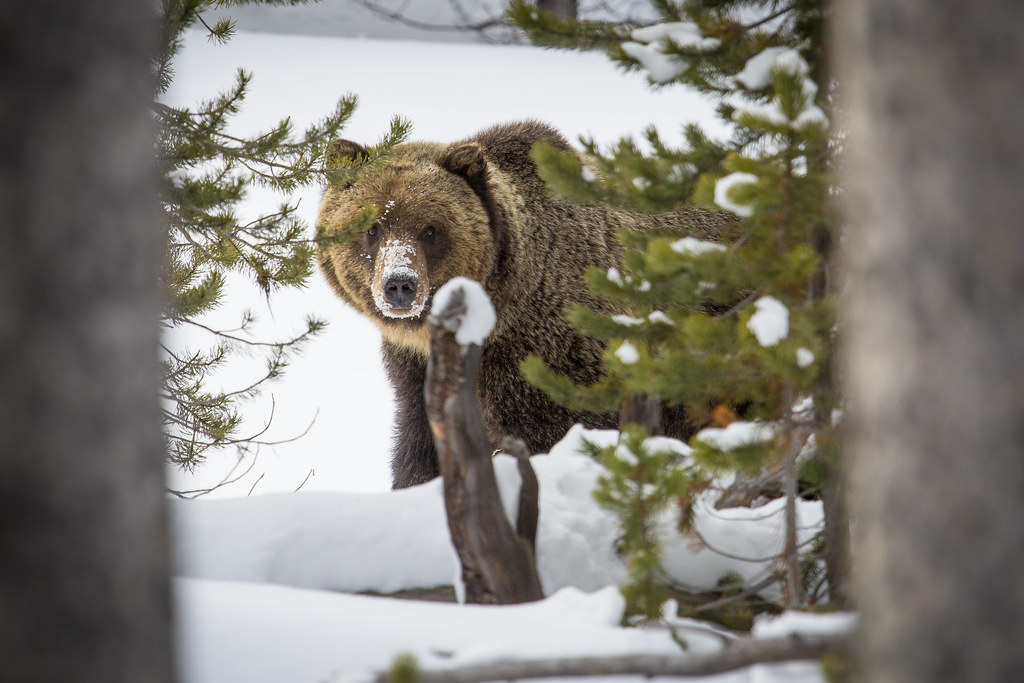 Grizzly bear spotted from some distance in the snow, between trees.