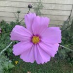 big pink flower with yellow center; in the background more buds of the same flower are about to bloom