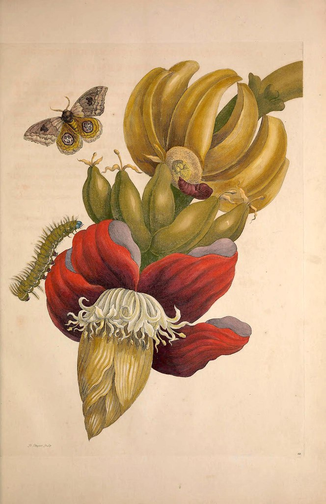 image shows a botanical drawing of a flowering banana plant and various insects, including a month and Caterpillar.